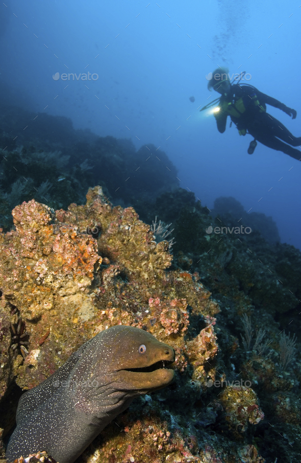 Scuba diver illuminates the hiding spot of a Finespotted moray eel, Galapagos Islands - Stock Photo - Images