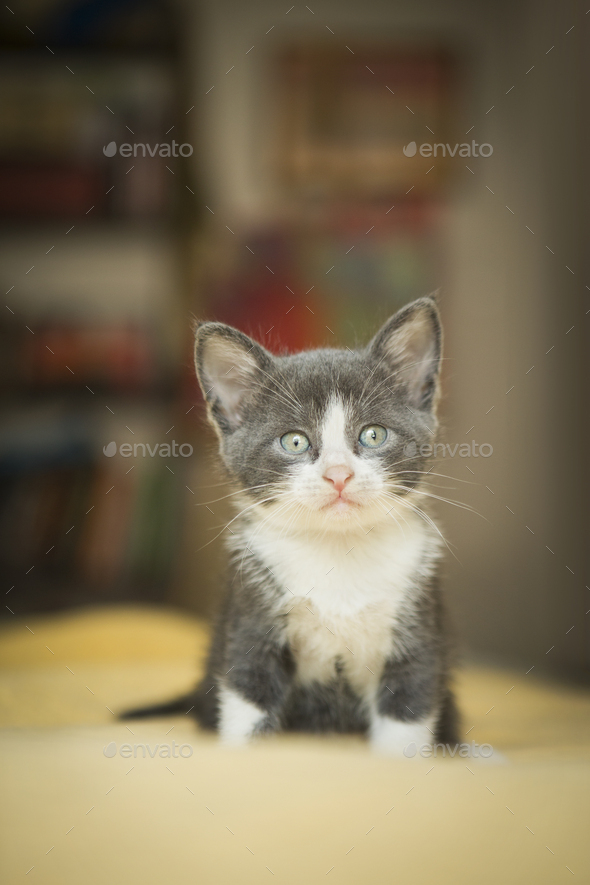 A small grey and white kitten looking around alert and curious. - Stock Photo - Images