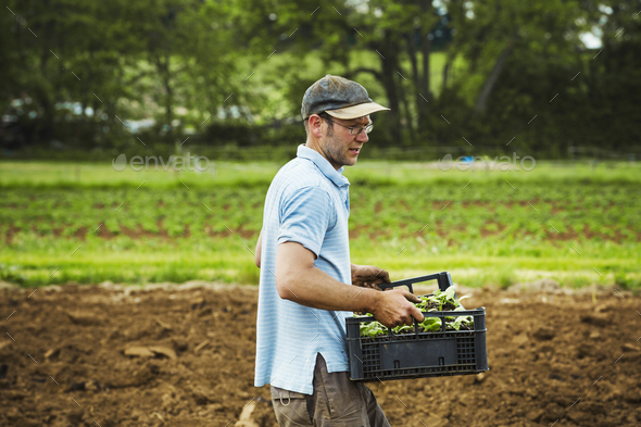 A man carrying a tray full of seedlings across a field. - Stock Photo - Images
