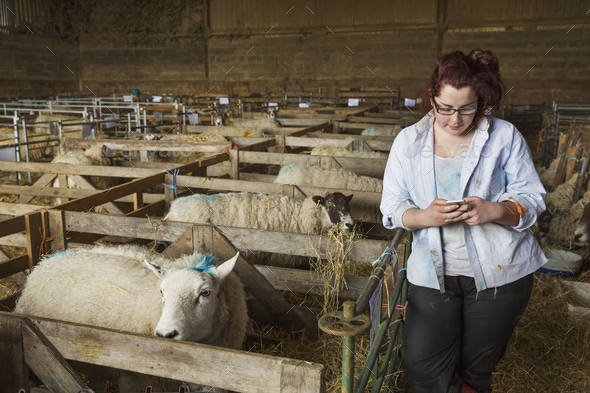 Young woman standing a stable next to a sheep pen, looking at her mobile phone. - Stock Photo - Images