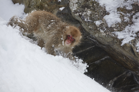 Japanese Macaque (Macaca fuscata) climbing down slope in the winter snow. - Stock Photo - Images