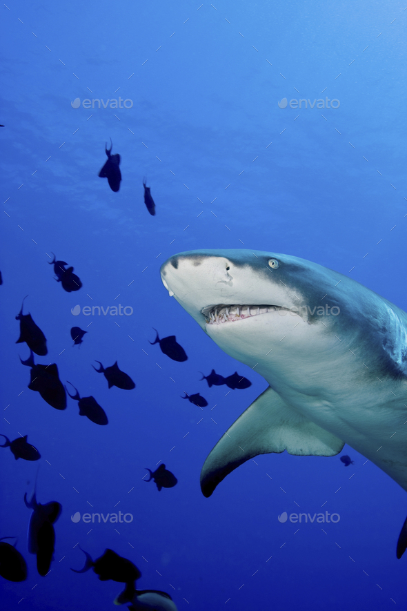 A Lemon shark, Negaprion brevirostris, underwater surrounded by smaller fish. - Stock Photo - Images