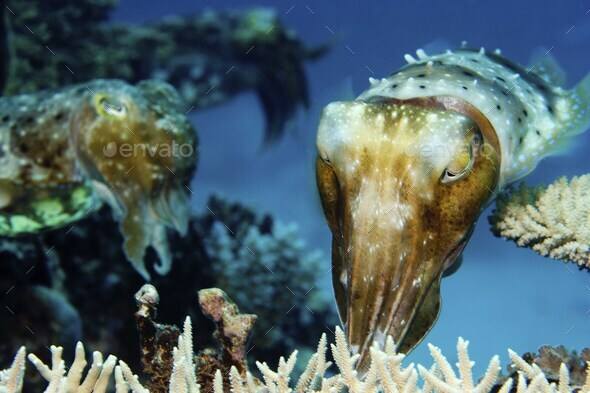 Cuttlefish placing eggs into the protection of coral on a reef. - Stock Photo - Images