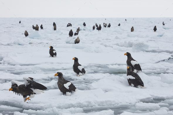 Steller's Sea Eagle (Haliaeetus pelagicus) on frozen bay in winter. - Stock Photo - Images