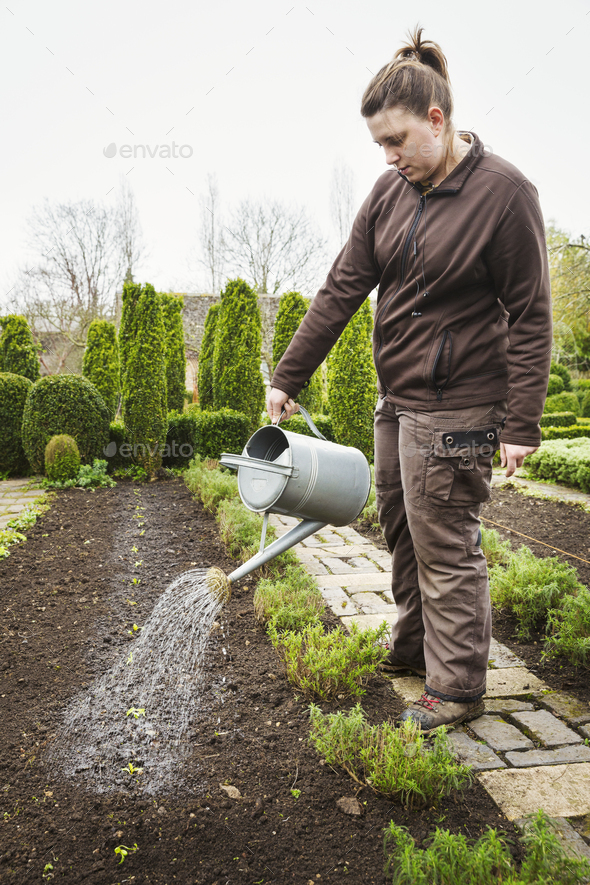 Woman watering a row of newly planted seedlings in the soil in a garden. - Stock Photo - Images