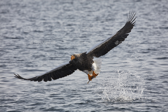 Steller's Sea Eagle (Haliaeetus pelagicus) hunting above water in winter. - Stock Photo - Images
