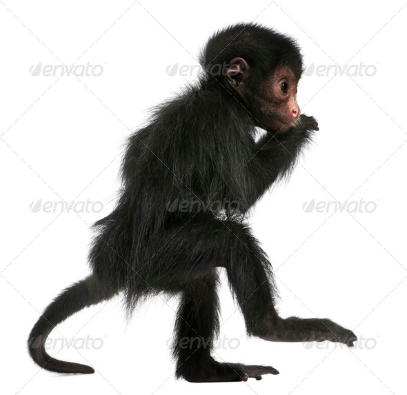 Red-faced Spider Monkey, Ateles paniscus, 3 months old, in front of white background - Stock Photo - Images