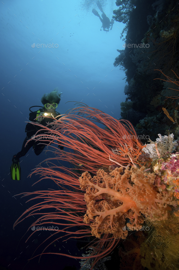 A female scuba diver illuminates a colorful display of red sea whips and pastel-colored soft corals, - Stock Photo - Images