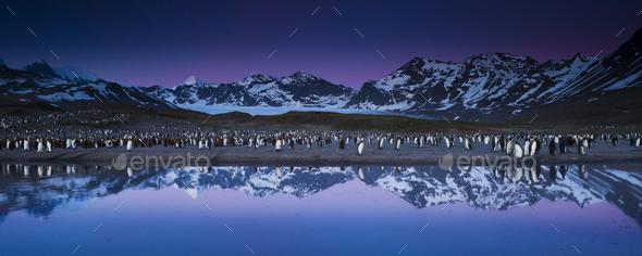 King Penguins, Aptenodytes patagonicus, in groups on the beach at dusk on South Georgia Island. - Stock Photo - Images