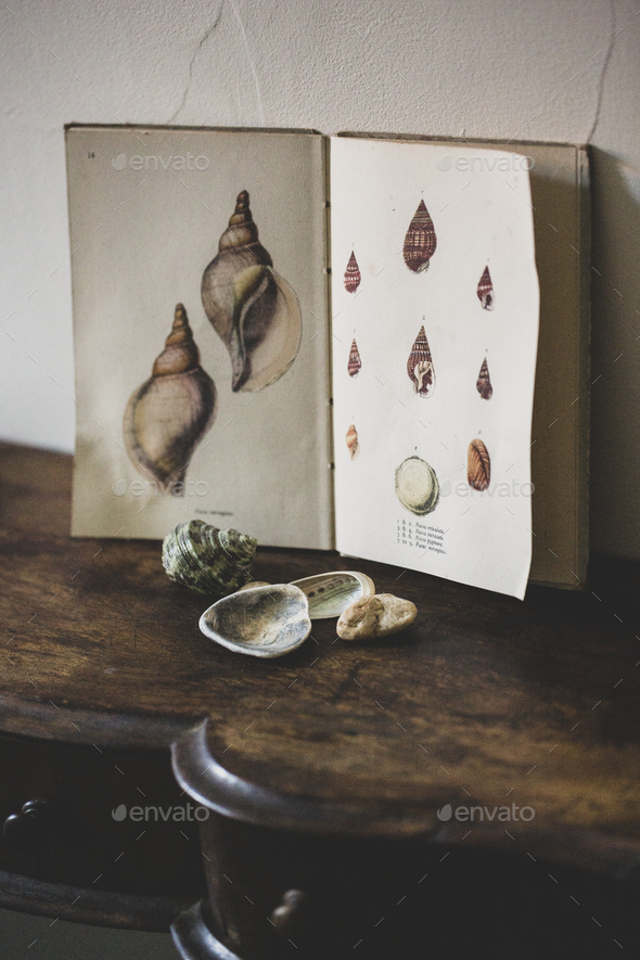Close up of Venus Ear shells and vintage card with drawings of sea shells on antique wooden table. - Stock Photo - Images