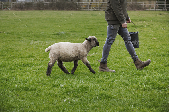 A farmer walking across a field with a bucket of feed, followed closely by a sheep. - Stock Photo - Images