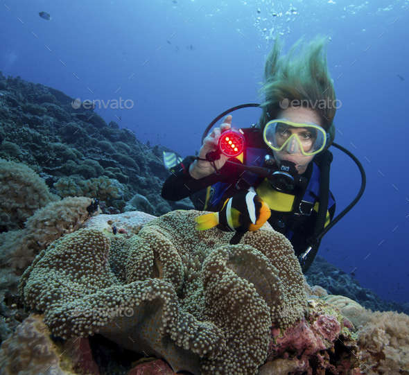 Diver shines underwater light on a Clark's anemonefish. - Stock Photo - Images