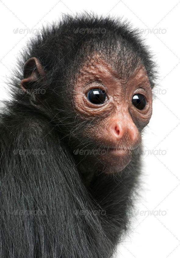 Close-up of Red-faced Spider Monkey, Ateles paniscus, 3 months old, in front of white background - Stock Photo - Images