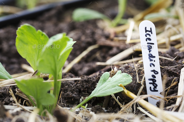New shoots growing from cuttings in compost and straw. - Stock Photo - Images