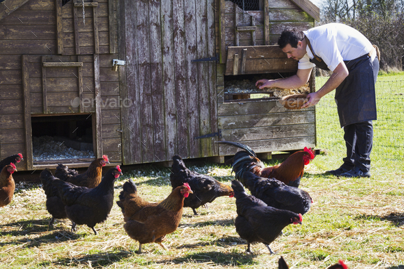 Hens and a rooster. A man in an apron collecting the eggs from a chicken coop. - Stock Photo - Images