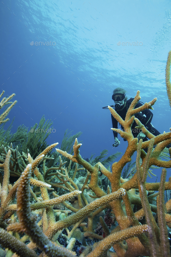 Reef scene with scuba diver and Staghorn coral - Stock Photo - Images