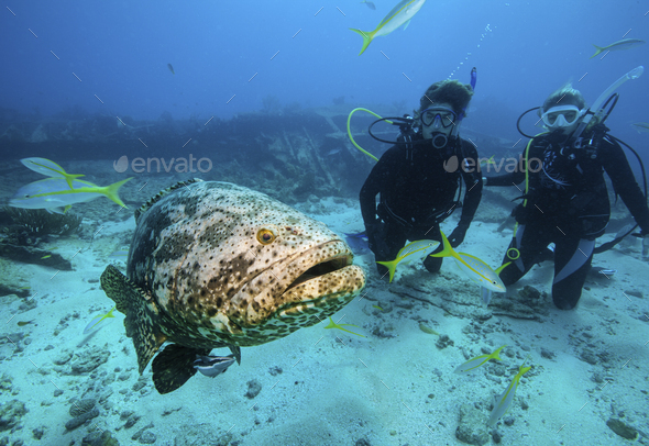 Divers observe a large Goliath grouper on the wreck of the City of Washington. - Stock Photo - Images