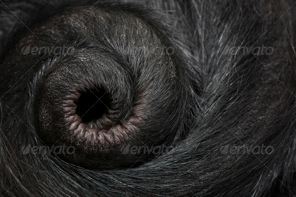 Close-up of Red-faced Spider Monkey, Ateles paniscus, 3 months old - Stock Photo - Images
