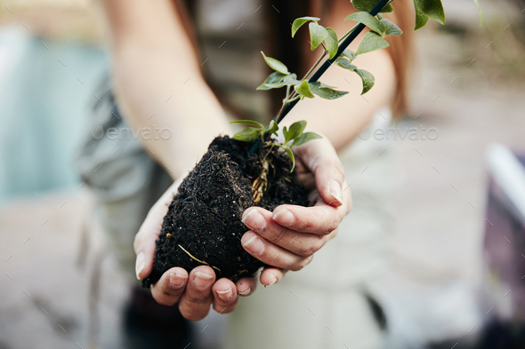 A person holding a small plant and rootball, preparing for planting. - Stock Photo - Images