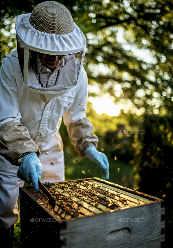 Beekeeper wearing a veil holding an inspection tray covered in bees. - Stock Photo - Images