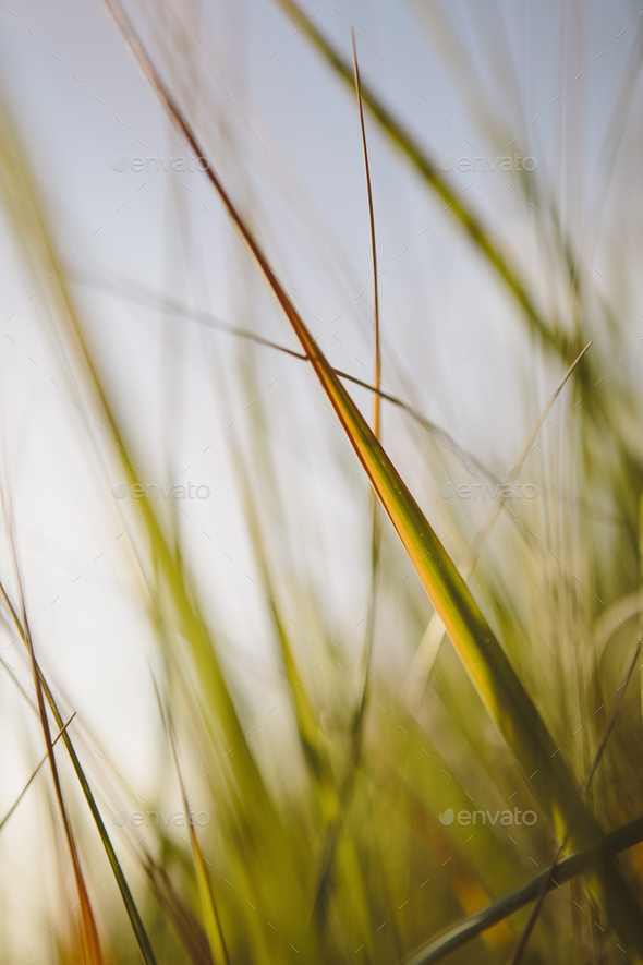 Low angle view of windswept sea grasses, Long Beach Peninsula - Stock Photo - Images