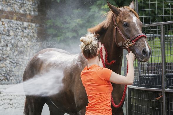 Woman holding a bay thoroughbred horse by the halter as the horse is sprayed down with water after - Stock Photo - Images