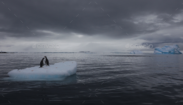 Gentoo penguins on an iceberg, Antarctica - Stock Photo - Images