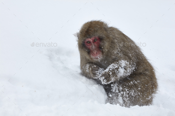 Japanese Macaque, a  snow monkey, Macaca fuscata in deep winter snow - Stock Photo - Images