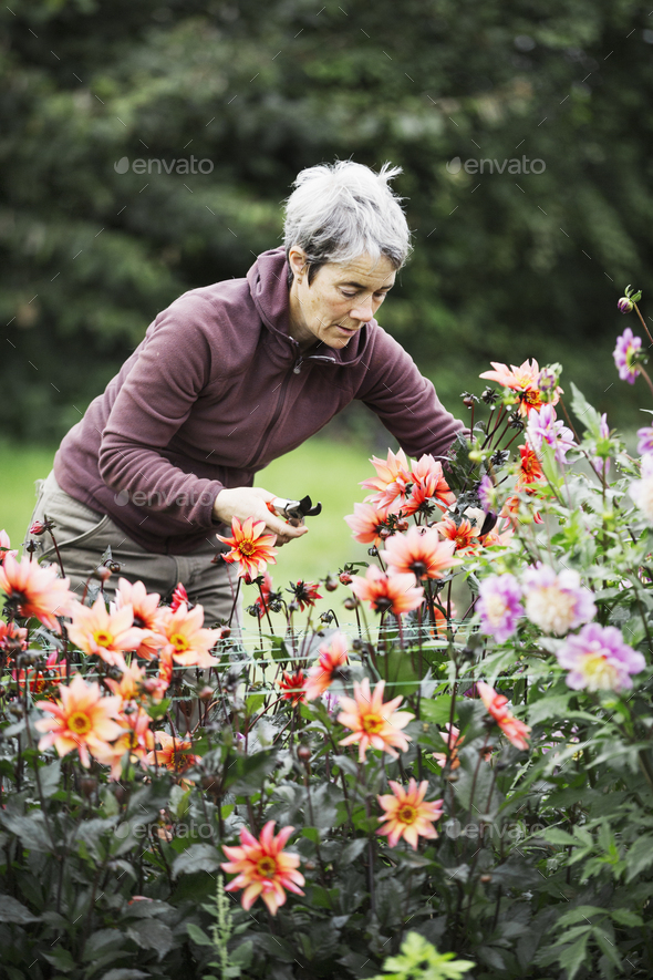 A woman cutting flowers in an organic commercial plant nursery flower garden. - Stock Photo - Images