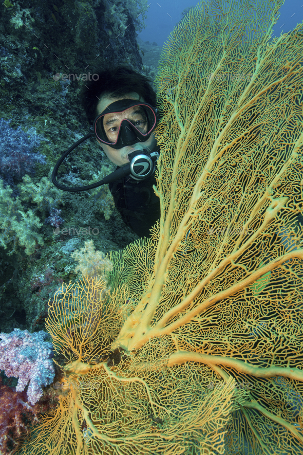 Diver peers out from behind a large gorgonian, yellow sea coral, a fan coral. - Stock Photo - Images