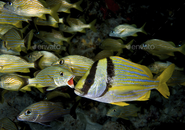A Bluestriped grunt (Haemulon sciurus) opens his mouth in preparation for cleaning, Key Largo, - Stock Photo - Images