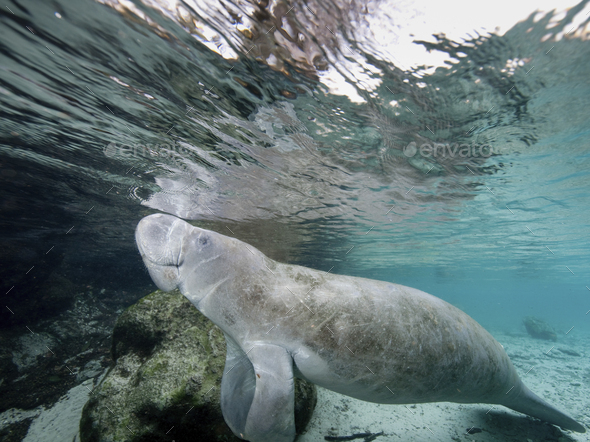 Florida manatee (Trichechus manatus latirostris) in the Crystal River, central Florida,Three Sisters - Stock Photo - Images
