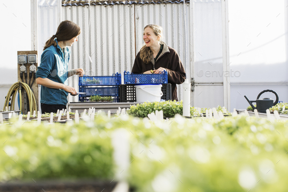 Two people cutting and packing salad leaves and fresh vegetable garden produce in a polytunnel. - Stock Photo - Images