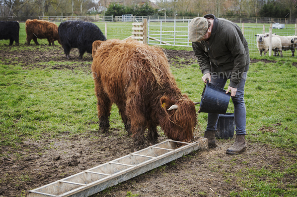 A man filling a feed trough for a group of highland cattle in a field. - Stock Photo - Images