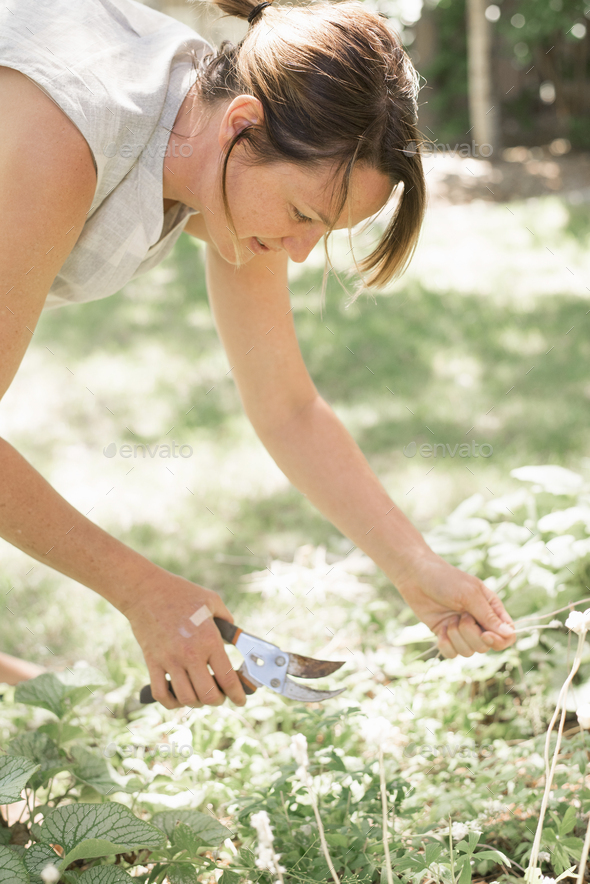 Woman gardening, cutting white flowers with secateurs. - Stock Photo - Images