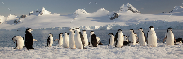 Chinstrap penguins on Half Moon Island, South Shetland Islands, Pygoscelis antarcticus, - Stock Photo - Images