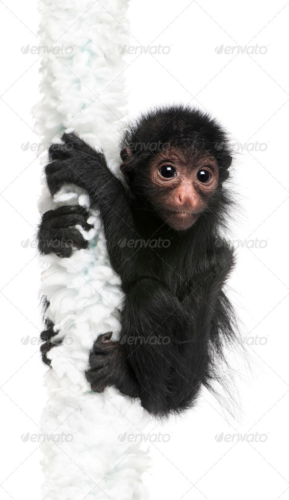 Red-faced Spider Monkey, Ateles paniscus, 3 months old, hanging on rope in front of white background - Stock Photo - Images