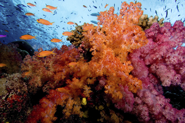 A harem of female Scalefin anthias flits above a vividly colored display of soft corals - Stock Photo - Images
