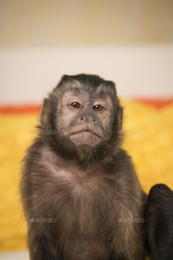 A capuchin monkey seated on a bed in a bedroom. - Stock Photo - Images