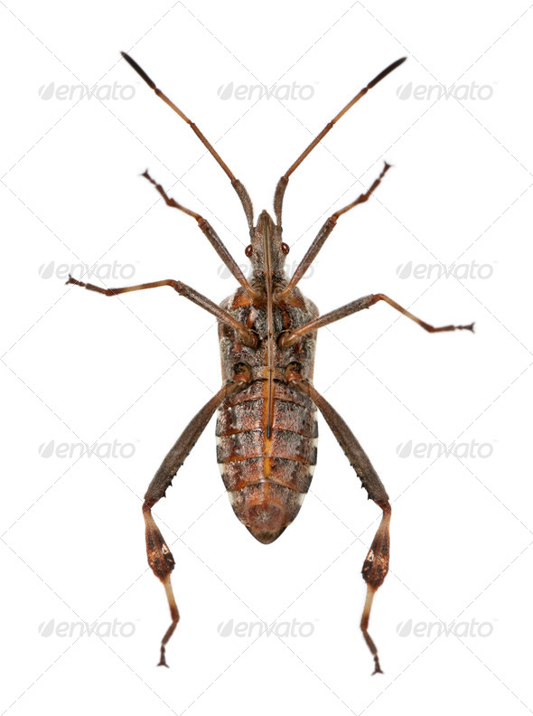 Western conifer seed bug, Leptoglossus occidentalis, in front of white background - Stock Photo - Images