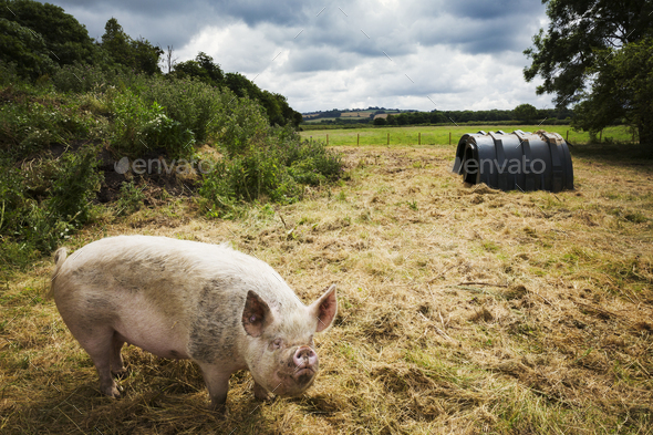 Pigs raised in free range open air conditions on a farm. - Stock Photo - Images
