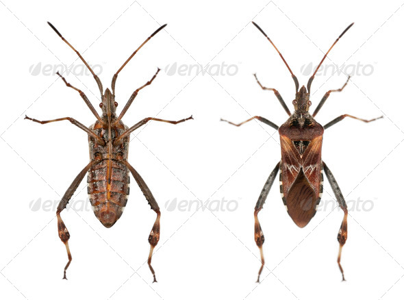Western conifer seed bugs, Leptoglossus occidentalis, in front of white background - Stock Photo - Images