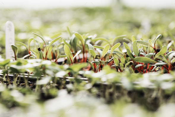 Micro leaves and seedlings growing. Surface view. - Stock Photo - Images