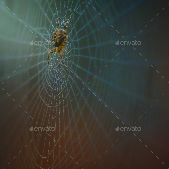 Garden Cross Spider on web with dew drops, close up. - Stock Photo - Images