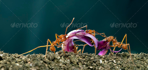 Leaf-cutter ants, Acromyrmex octospinosus, carrying flower petal in front of blue background - Stock Photo - Images