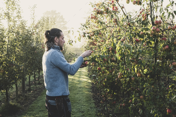 Man standing in apple orchard, picking apples from tree. Apple harvest in autumn. - Stock Photo - Images