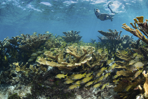 Snorkeler floats over field of hard corals. - Stock Photo - Images