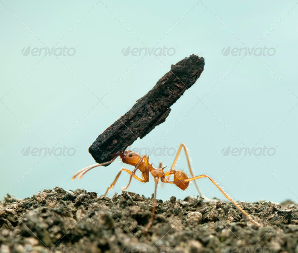 Leaf-cutter ant, Acromyrmex octospinosus, carrying bark in front of blue background - Stock Photo - Images