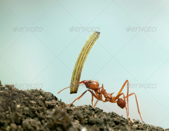 Leaf-cutter ant, Acromyrmex octospinosus, carrying plant in front of blue background - Stock Photo - Images