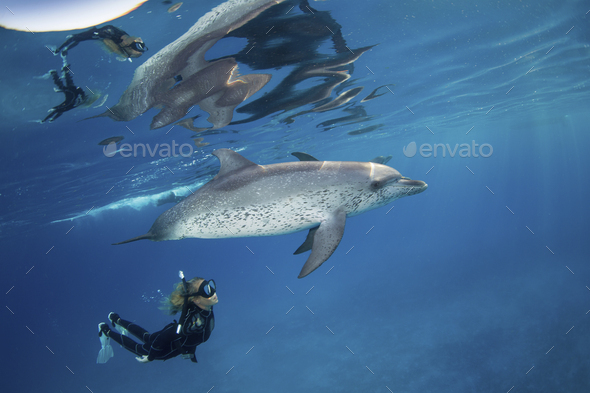 Freediver snorkels with pod of friendly Atlantic spotted dolphins, - Stock Photo - Images